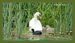 Swans (maryimackins) Tags: swan cygnets coot wildlife kent mary mackins