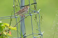 Savannah Sparrow, m (Kelly Colgan Azar) Tags: passerculussandwichensis savannahsparrow male breeding june troy newyork usa