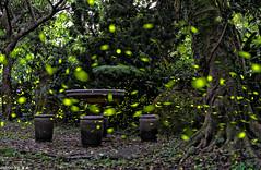 TOM08970 (HwaCheng Wang 王華政) Tags: 螢火蟲