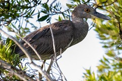 Immature yellow-crowned night heron. (zachzombiesphotos) Tags: