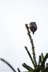 Boreal Chickadee (Dick Latuchie) Tags: birding borealchickadee location minnesota northamerica unitedstates stonyrivertownship unitedstatesofamerica