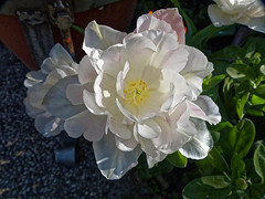La coupe blanche - The white cup (p.franche burn out) Tags: blanc tulipes pétales étamines pistil bokeh feuilles white tulips petals stamens leaves blume 花 blomst flor פרח virág bunga bláth blóm bloem kwiat цветок kvetina blomma květina ดอกไม้ hoa زهرة panasonic lumix fz200 bruxellesbrussel brussels belgium belgique belgïe europe pfranche pascalfranche hdr dxo phototab flickrelite schaerbeek schaarbeek