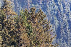 Preview of our holiday in Canada and Alaska. - A couple of Bald Eagles - can you find them? (3.3 mil views - Thank you all.) Tags: alaska unitedstatesofamerica elfincove usa holiday canada juneau ketchikan hoonah staneastwood stanleyeastwood