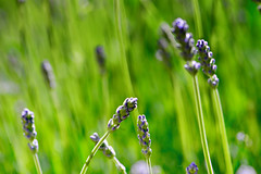 Look at Lavender (Karen McQuilkin) Tags: lavender garden