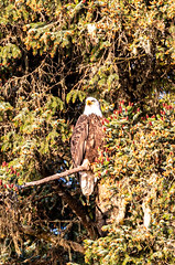 Preview of our holiday in Canada and Alaska. - Bald Eagle,  Icy Straight Point, Alaska. (3.3 mil views - Thank you all.) Tags: alaska unitedstatesofamerica hoonah usa holiday canada juneau ketchikan staneastwood stanleyeastwood