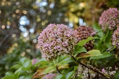 Otoñales 8/24 (Irene Carbonell) Tags: hortensias otoño coloresdeotoño 35mm nikon