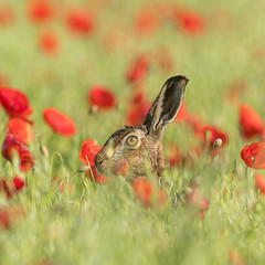 Brown Hare (Alan Dixon) Tags: england europe norfolk lagomorph brownhare lepuseuropaeus britishmammal agriculturearable