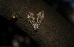 Dysallacta species (dustaway) Tags: insecta lepidoptera crambidae spilomelinae dysallactaspanic1 rprr rotaryparkrainforestreserve australianmoths australianinsects australianwildlife lismore northernrivers nature nsw australia