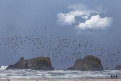 A flock of seagulls (charhedman) Tags: cannonbeach aflockofseagulls birds water pacificocean threepeople rocks oregoncoast iran sigma100mm400mmlens aluckymoment