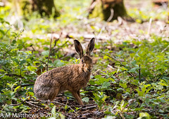 Brown hare (TonyMatthews) Tags: woodland brownhare lepuseuropaeus