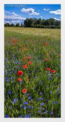 Pause champêtre (jamesreed68) Tags: fleur champ ciel paysage nature grandest alsace hautrhin france nuage soultz