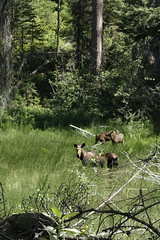 Moose with Calves (Forest Service - Northern Region) Tags: wildlife flatheadnationalforest montana scenic