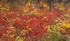 Huckleberries in Autumn (Forest Service - Northern Region) Tags: flatheadnationalforest montana scenic fallcolors