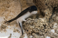 House Martin Delichon urbicum At Nest (Barbara Evans 7) Tags: house martin delichon urbicum at nest trujillo spain barbara evans7