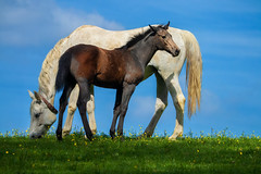 Mother and Daughter (FocusPocus Photography) Tags: pferd horse deutscheswarmblut germanwarmblood stute mare fohlen foal weide pasture gras grass wiese meadow himmel sky tier animal marbach hauptundlandgestüt