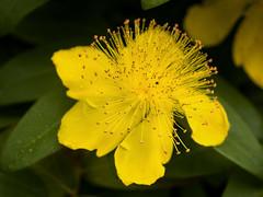Flores Gloria (Maximilian Busl) Tags: flower yellow makro closeup nature garden hasselblad 500cm cfv50c