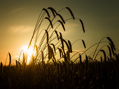 Tempus messis (Maximilian Busl) Tags: nature outdoor crop field harvest sunset yellow hasselblad cfv50c 500cm