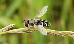 Scaeva pyrastri (jon. moore) Tags: greaterlondon colnevalley scaevapyrastri piedhoverfly syrphidae diptera