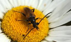 Pseudovadonia livida (jon. moore) Tags: greaterlondon colnevalley fairyringlonghorn cerambycidae coleoptera pseudovadonialivida