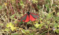 Tyria jacobaeae (jon. moore) Tags: greaterlondon colnevalley erebidae lepidoptera cinnabarmoth tyriajacobaeae