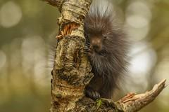 Porcupette (Rob E Twoo) Tags: ontario explore canada wildlife nature porcupine