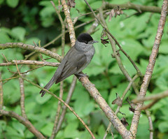 Euraian Blackcap - male (Wild Chroma) Tags: sylvia atricapilla sylviaatricapilla blackcap male england birds passerines attenboroughnr