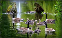 Sefton Park Liverpool 12th June 2019 (Cassini2008) Tags: seftonparkliverpool canadageese wildlife