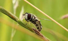 Scaeva pyrastri (jon. moore) Tags: greaterlondon colnevalley piedhoverfly scaevapyrastri syrphidae diptera