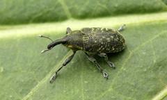 2351 (jon. moore) Tags: greaterlondon colnevalley coleoptera