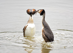 Great crested grebes. (dave harrison143) Tags: grebe