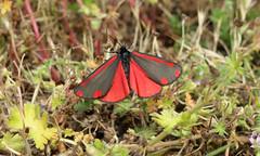 Tyria jacobaeae (jon. moore) Tags: greaterlondon colnevalley tyriajacobaeae lepidoptera cinnabarmoth erebidae