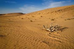 Negev Desert, Pseudocerastes fieldi habitat (Matthieu Berroneau) Tags: sony alpha ff 24x36 macro nature wildlife fe sonya7iii sonya7mk3 sonyalpha7mark3 sonyalpha7iii a7iii 7iii 7mk3 sonyilce7m3 herp herping trip israel israël 2470 mm f4 zeiss fe2470mmf4zeiss landscape paysage habitat desert désert sable sand dune negev pseudocerastes fieldi pseudocerastesfieldi fields horned viper fieldshornedviper eye false trans jordanian eyehornedviper falsehornedviper transjordanianviper shefifon field trughornviper fieldtrughornviper falsa vipera cornuta falsaviperacornuta shepipon