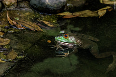 Frog in Water 3-0 F LR 6-2-19 J023 (sunspotimages) Tags: animal animals nature wildlife frog frogs amphibian amphibians