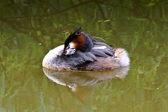 Great crested grebe. (dave harrison143) Tags: grebe