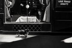 Live Piano nights (Stefano Avolio) Tags: piano streetphotography street bw blackwhite bn bianconero stefanoavolio dog cane savolio