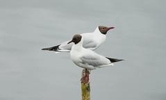 Black Headed gulls (hedgehoggarden1) Tags: blackheadedgulls birds gulls wildlife nature sonycybershot animals creatures sony northcave yorkshire uk yorkshirewildlifetrust