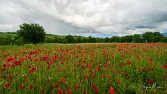 Proche de Montalcino, val d'orcia, italie (stephan.martos) Tags: fleurs coquelicots sony a7 fe 1635mm toscane italie val dorcia montalcino