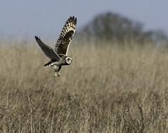 S E O (Willbury not about much.) Tags: short owl outdoor bird beautiful flying hunting willbury wildlife winter d500 nikon sigma500 f4