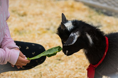 Hungry? (Daren Grilley) Tags: beverlyhills california unitedstatesofamerica farm animals nikon goat d850 kid