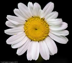 Daisy (Carrington Imagery) Tags: 20images padlight daisy focusstacking macro pixapro print stack