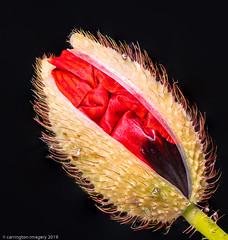 Poppy Bud Opening (Carrington Imagery) Tags: padlight focusstacking macro pixapro poppy poppybud print stack