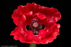 Poppy Macro (Carrington Imagery) Tags: 20images padlight macro pixapro poppy print stack
