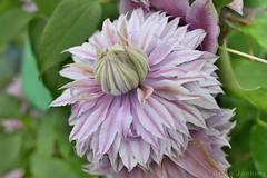Clematis (Bri_J) Tags: rhs chatsworthflowershow2019 chatsworthhouse edensor derbyshire uk chatsworth flowershow nikon d7500 clematis flower hdr