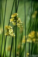 Between the Lines of My Story (barbara_donders) Tags: natuur nature spring lente mooi beautiful prachtig magisch magical lines lijnen gras grass dof dream