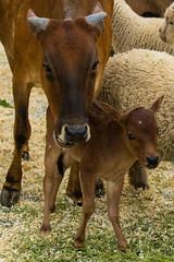 Mother and Daughter (Daren Grilley) Tags: beverlyhills california unitedstatesofamerica farm animals nikon baby cow calf d850