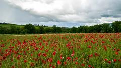 Proche de Montalcino, toscane (stephan.martos) Tags: champ de fleur sony a7 fe 1635 f4 toscane italie val dorcia montalcino