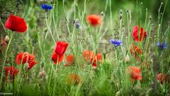 11062019-DSC_0041 (vidjanma) Tags: bleuet bokeh brouire champ cioquelicot coquelicots fleurs