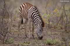 Empty land (leendert3) Tags: leonmolenaar wildlife southafrica krugernationalpark wilderness wildanimal naturereserve naturalhabitat mammal burchellszebra ngc npc