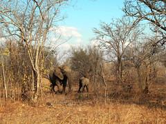 Elephants at Kruger National Park (juanmacllas) Tags: kruger naturaleza naturephotography nationalpark nature nationalgeographic biodiversity biodiversidad elephant elefantes mammals wildlife wildnature