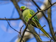 Ring-necked Parakeet (Paul West ( pwest.me )) Tags: ringneckedparakeet ringnecked parakeet bird blackpool nature wildlife countryside stanleypark naturelovers wildlifepics macro wildlifepictures wildlifephotographer wildlifephotography naturephotography naturepictures naturephotographer birdphotography animal naturephotoportal poultonphotosoc photography tit wildlifeplanet intothewild wildlifeperfection naturephoto naturepics naturepic naturecollection natureseekers tits wildlifephotos animalsofinstagram animalphotos animalphotography